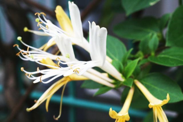 スイカズラの花